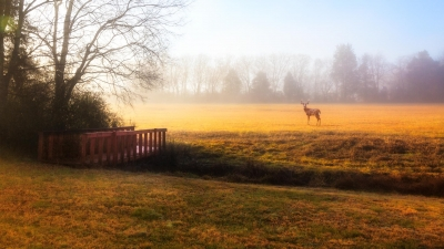 Deer in medow